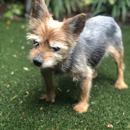 Charlie Dog euthanasia put down at home Chicago